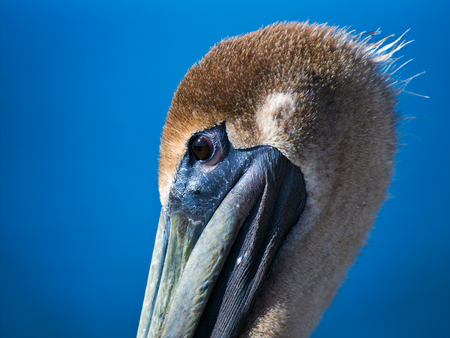 Closeup side view of beautiful brown pelican with blue background