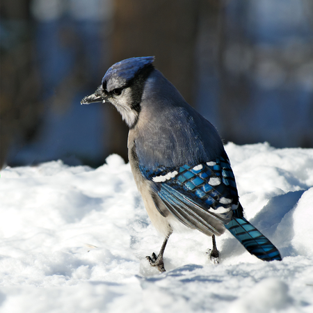 Beautiful bluejay bird with snow on beak - corvidae cyanocitta cristata - standing on white snow on sunny day in northern Minnesota
