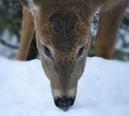 White-tailed Deer - Odocoileus virginianus, closeup portrait of a young doe on snow in winter in Minnesota.