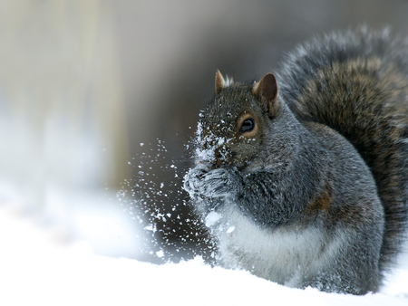 Gray Squirrel - sciurus carolinensis - eastern gray squirrel or grey squirrel, closeup on snow.