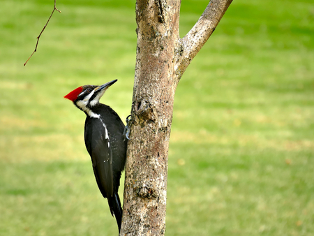 Female pileated woodpecker Dryocopus pileatus perched on tree trunk with green grass background Stok Fotoğraf
