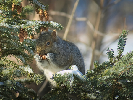 Gray Squirrel - sciurus carolinensis - eastern gray squirrel or grey squirrel, closeup on spruce branch eating pine cone. Stok Fotoğraf