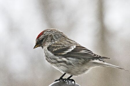 Common Redpoll bird, Acanthis flammea, female perched facing left. Soft background.