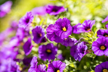 Beautiful purple Morning Glory flower blossoms with narrow depth of field focus. Stok Fotoğraf