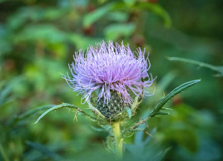 Asteraceae Cirsium arvense or Canada thistle, closeup of young blossom with selective focus. AKA creeping thistle and lettuce from hell 版權商用圖片