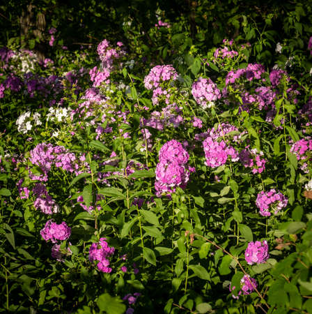 Flowers background. Beautiful pink and purple and white blossoms with green leaves and plants.