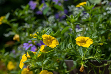 Beautiful calibrochao, yellow million bells flower, with many blossoms in springtime, with shallow depth of field focus. Фото со стока