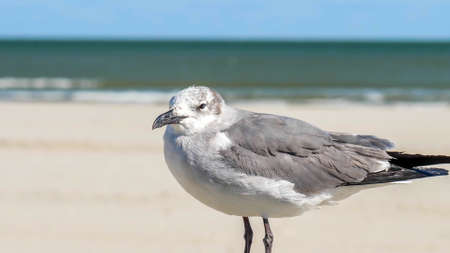 Seagull with gray mottled head at the Gulf of Mexico in Port Aransas, Texas on a sunny day, with blurred beach, ocean and sky in background. Hand held slow motion close up with subtle zoom. Фото со стока