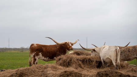 Texas Longhorn beef cattle eating hay in the pasture on a cloudy day. Фото со стока