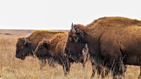 Three wild American bison, Bison bison, standing in the tall grass of a midwest prairie in winter time with cloudy skies.