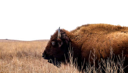 American Bison cow, bison bison, standing in the tall grass of a midwest prairie in winter time with cloudy skies.