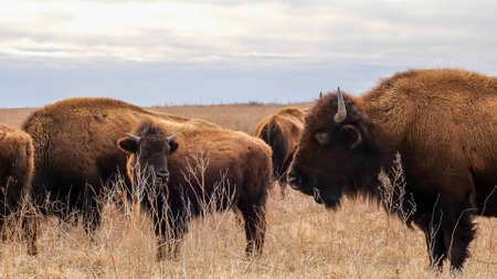 Several wild American bison, Bison bison, standing in the tall grass of a midwest prairie in winter time with cloudy skies. Фото со стока
