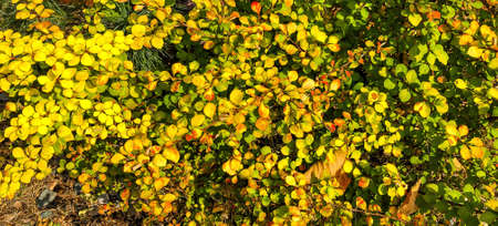 Autumn season background concept with yellow, green and red colorful leaves. 스톡 콘텐츠