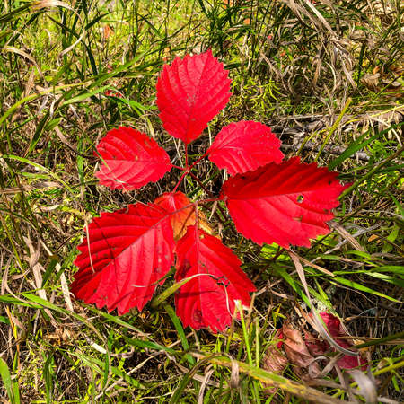 Bright red leaves in nature in autumn season concept image.