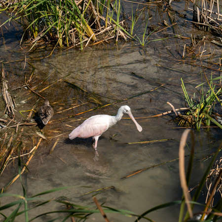 Roseate spoonbill Platalea ajaja eating in the muddy water at a bird center in Texas, Weeds and other birds, are also visible.