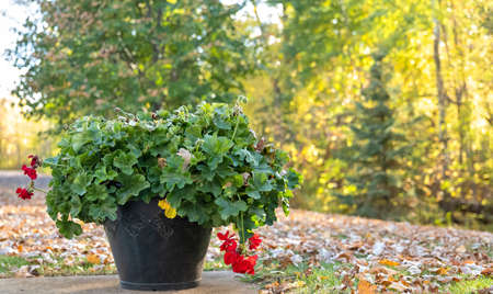Flower pot with green plant leaves and last red blossoms in autumn, with leaves on the grass and trees turning to yellow.