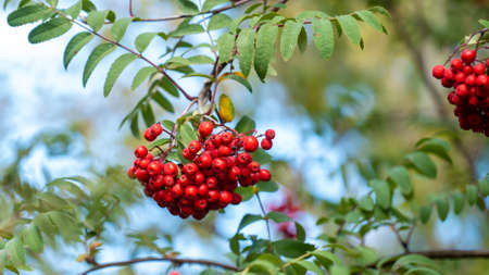 Red berries and green leaves of mountain ash tree branches in a autumn image. 스톡 콘텐츠
