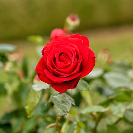 Live Red Rose, Rosaceae Rosoideae Rosa, Flower blossom on a plant with green leaves in garden, ready for picking or Valentines Day.