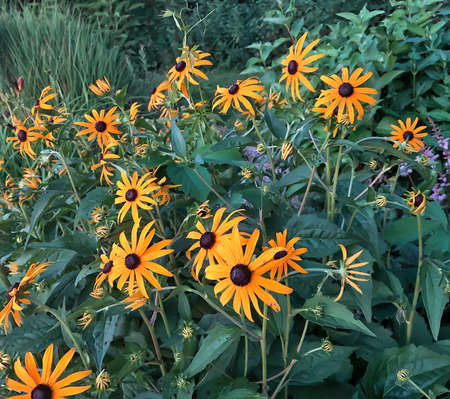 Black-eyed Susan Flowers in garden, for use as background