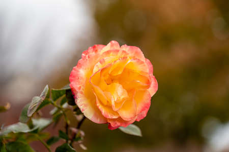 Yellow Pink Rose Flower blossom on a live plant with green leaves in garden 스톡 콘텐츠