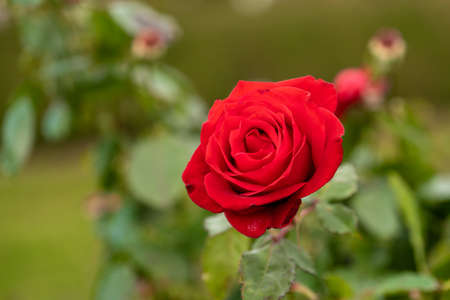Red Rose Flower blossom on a live plant with green leaves in garden.