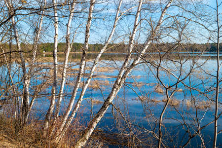 Birch trees along the shore of a beautiful Minnesota lake in spring time.