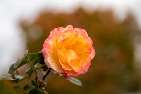 Beautiful live Yellow Pink Rose with nice bokeh background, Rosaceae Rosoideae Rosa, Flower blossom on a plant with green leaves in garden, ready for picking or Valentines Day.