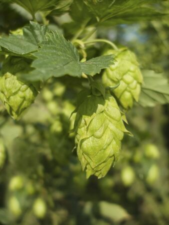 owes: Hop - ones taste beer owes this plant Stock Photo