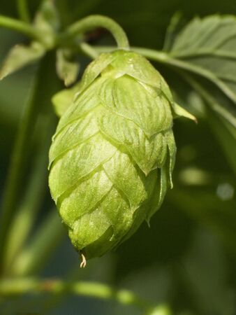 owes: Hop - ones taste beer owes this plant 3 Stock Photo