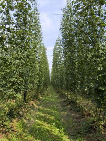 owes: op - ones taste beer owes this plant 6 Stock Photo