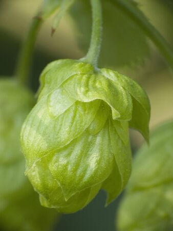 owes: Hop - ones taste beer owes this plant 5 Stock Photo