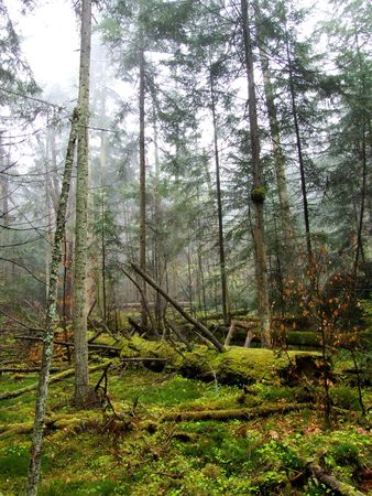overthrown: Old forest with overthrown trees through storm