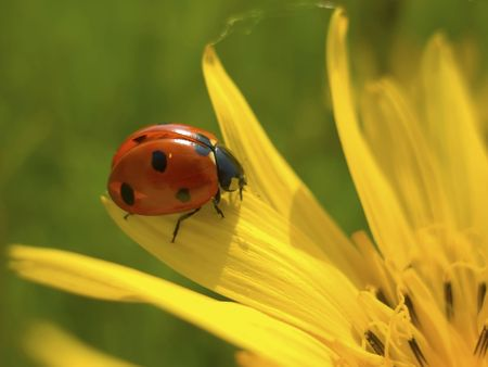 flower ladybug: Red warming on yellow flower ladybug oneself in spring sun Stock Photo