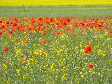 tillage: Agriculture. In tillage of rape without fertilizers poppy seed is largest weed Stock Photo