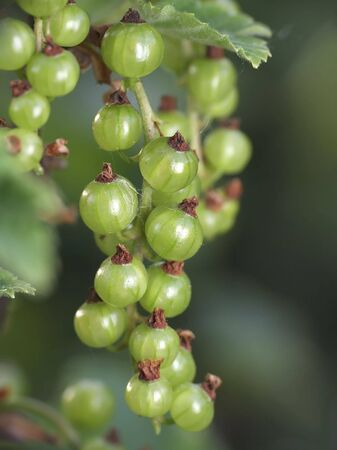 behold: To behold this green currants already soon and red