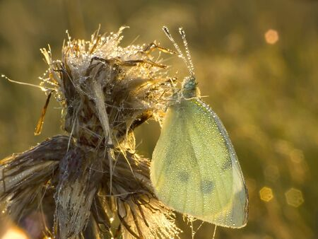 mornings: Nature. White cabbage butterfly (Pieris brassicae) whole in mornings dew