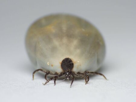 blood transfer: Nature. Transfer of diseases. Full fill her up tick (Ixodes ricinus) blood.