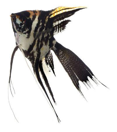 scalar: Home animals. Swimming scalar (Pterophyllum scalare) in aquarium on white background