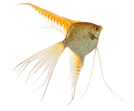 scalare: Home animals. Swimming scalar (Pterophyllum scalare) in aquarium on white background