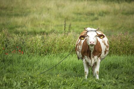 traditionally: Agriculture. Polish cows graze in the meadow traditionally pinned chains