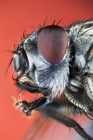 Extreme larger head housefly, side view