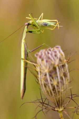 Green praying mantis on a meadow Stock Photo