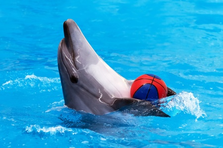 Close view of dolphin playing with ball in blue water photo