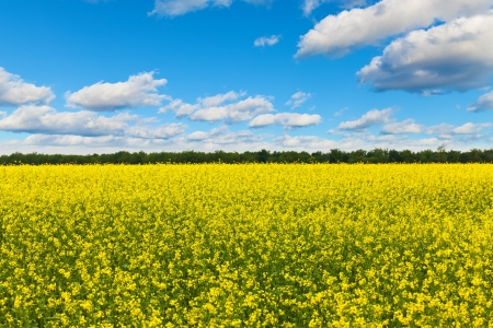 rape: Scenic view of rural field with rape flowers