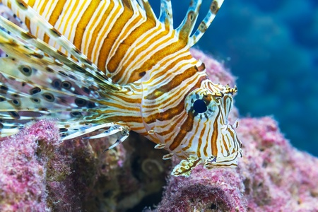 Macro view of lionfish in the sea underwater photo