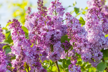 Scenic macro view of fresh lilac flowers photo