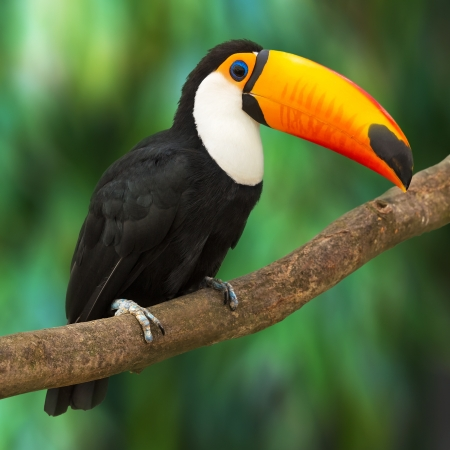 animales de la selva: Toucan Ramphastos Toco sentado en la rama del árbol en el bosque tropical o selva