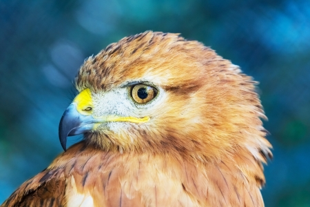 tailed: Close portraint of Red-tailed Hawk  Buteo Jamaicensis  Stock Photo