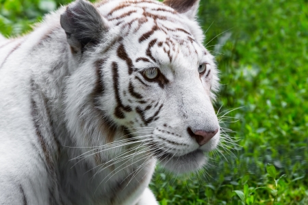 tiger hunting: Close portrait of white tiger in the wild
