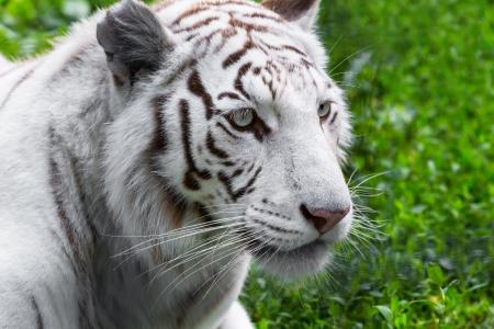 Primer retrato de tigre blanco en su hábitat natural Foto de archivo - 20294404